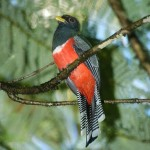 Colored-Trogon.HDiaz