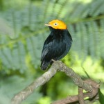 Golden-Headed-Manakin.HDiaz