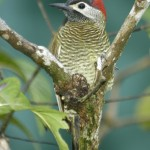 Golden-Olive-Woodpecker.HDiaz