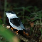 White-Bearded-Manakin.HDiaz
