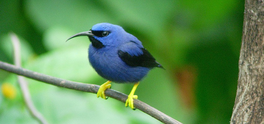 p-honeycreeper